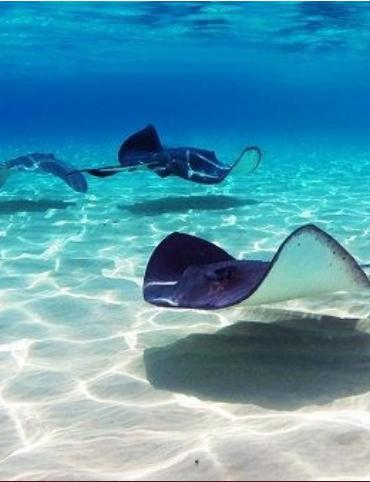 Descubren criadero de mantarrayas en el Golfo de México